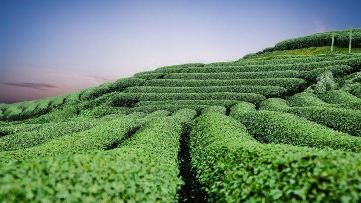 今注目の和紅茶とは?その秘密と特徴を探ります!