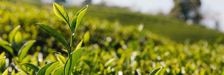 茶葉の品種による和紅茶の選び方