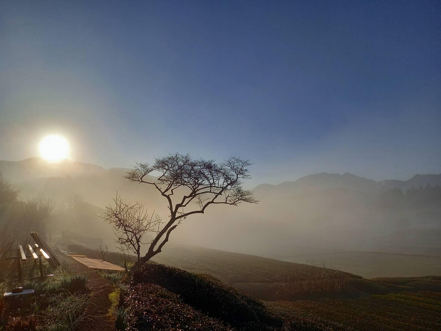 岩永製茶園 茶園風景