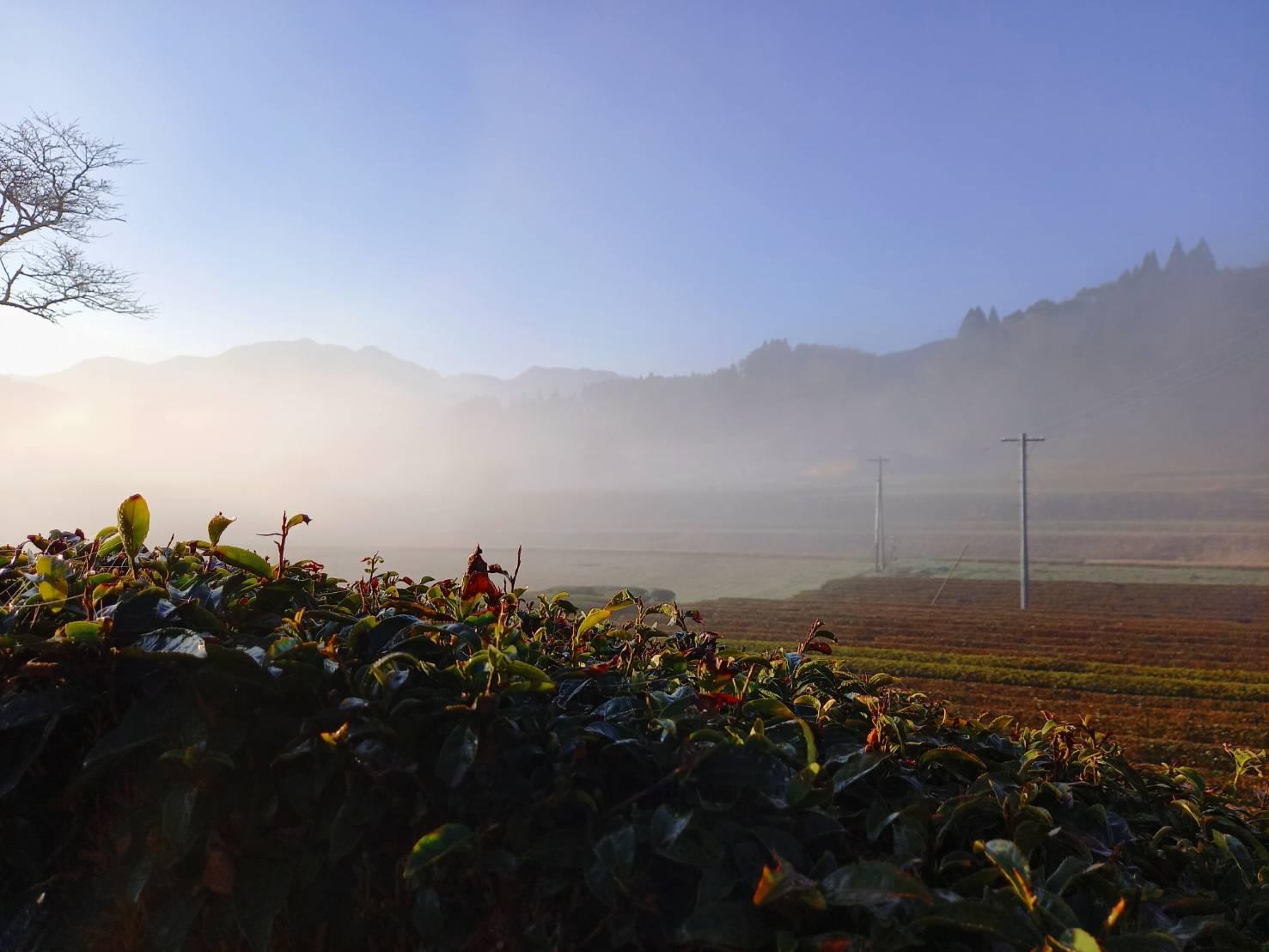 岩永製茶園 茶畑風景