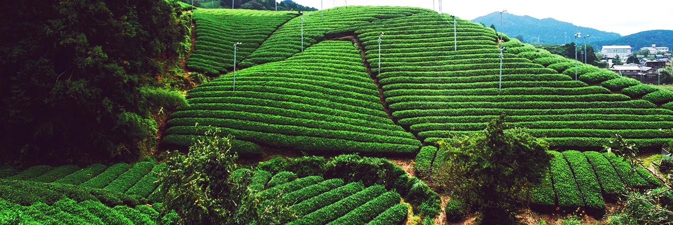 和紅茶の収穫シーズン